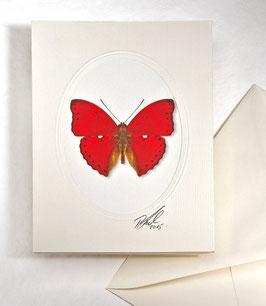 "Kunstkartenset ""Schmetterling"" AT-0029 - Cymothoe coccinata -"