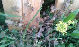 Futterschnecken klein  helix aspersa, petit gris