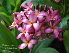 Violet Pink - Samen
