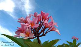 Aussie Pink - Samen