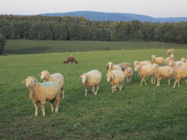 Lammkeule