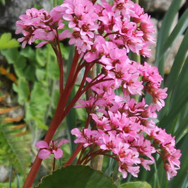 Bergenia crassifolia ( tisane sibirienne)