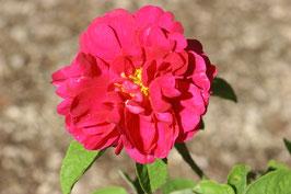 Rosa conditorum