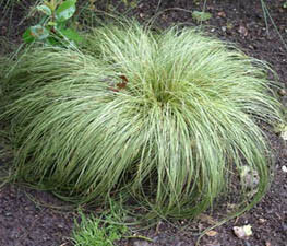 "Carex "" Frosted Curls """