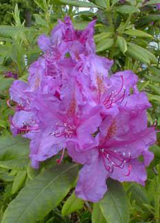 Rhododendron Purpureum Grandiflorum