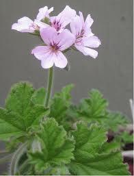 Pélargonium à senteur de rose