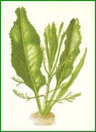 Raifort - le wasabi des Allemands...