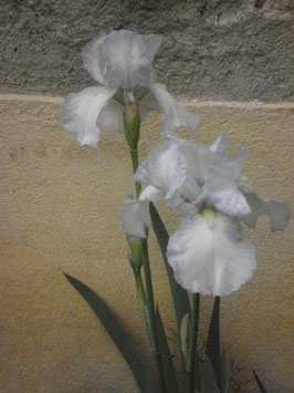 "Iris ""English Cottage"""