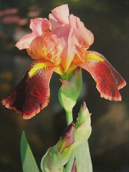 Iris à senteur de chocolat