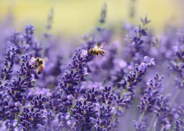 Lavendel barreme