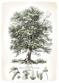 BUCHE - Baum - ab 9,90 €