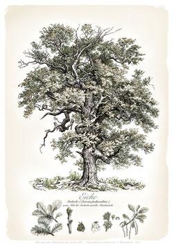 EICHE - Baum - ab 9,90 €