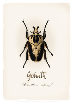Käfer GOLIATH - ab 9,90 €