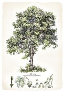 AHORN - Baum - ab 9,90 €