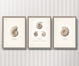 Ammoniten 3er-Set