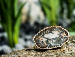 Versteinertes Holz - Scheibe