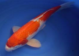 3_8 Kohaku (50 cm)