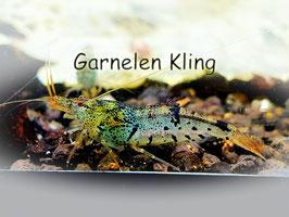Taiwan Bee Blue Mix Garnelen