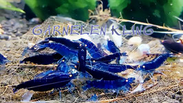 Blaue Tigergarnele Orange Eye (Deep Blue Garnelen)
