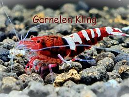 Pinto Red Garnelen