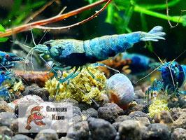 Crazy Blue Garnelen