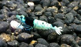 Taiwan Blue Shadow Mosura Garnele