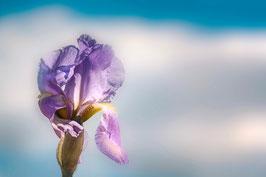 Iris mauve  par Mateo Brigande