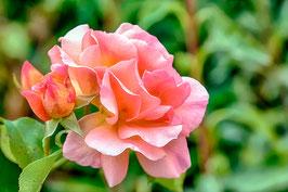 Au grés de la rose.... par Mateo Brigande