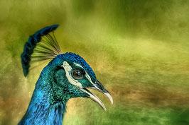 Mister Peacock par Mateo Brigande