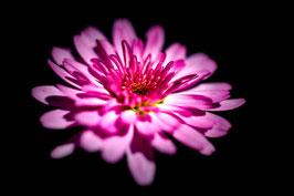 Pompon rose par Mateo Brigande