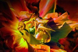 Tulipe, plein coeur par Mateo Brigande