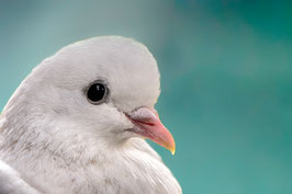 Blanche colombe par Mateo Brigande