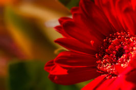 Gerbéra rouge par Mateo Brigande