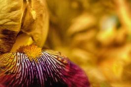 Iris jaune par Mateo Brigande