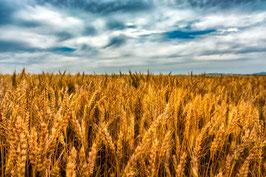 Les blés mûrs par Mateo Brigande