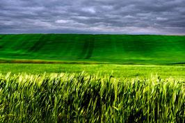 Les blés en herbes par Mateo Brigande