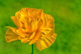 Elégant coquelicot  jaune par Mateo Brigande