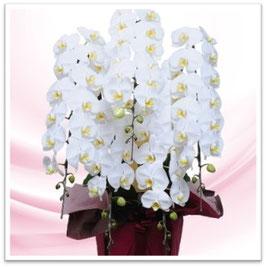 ②【5本立て】胡蝶蘭鉢(白)