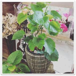 ②【種類選べる】観葉植物7号鉢