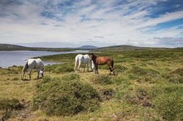 Connemara - Chevaux sauvages- Irlande