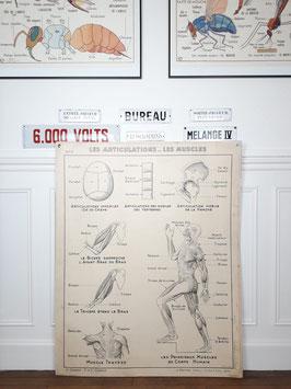 Grande carte scolaire Hatier Les articulations, les muscles / Le système nerveux
