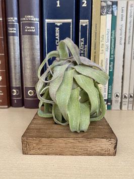 Tillandsia streptophylla con soporte de madera de paulownia