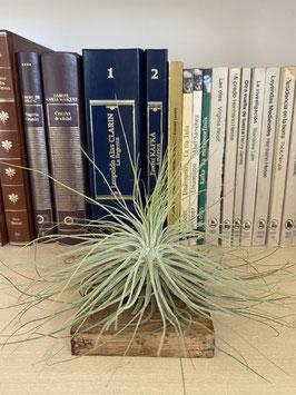 Tillandsia magnusiana con soporte de madera de paulownia