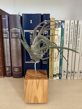 Tillandsia pruinosa L con soporte de madera de olivo
