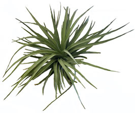 Tillandsia houston dark red