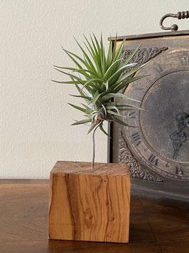 Tillandsia aeranthos dark flower con soporte