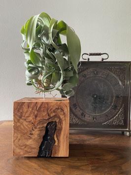 Tillandsia curly slim con soporte de madera de olivo