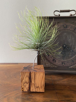Tillandsia andreana con soporte de madera de olivo