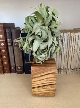 Tillandsia Streptophylla M con soporte de madera de olivo