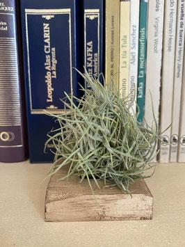 Tillandsia bandensis con crocata con soporte de paulownia